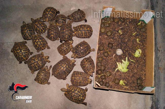 Casamassima ruba energia e detiene in casa 45 tartarughe for Terra per tartarughe di terra