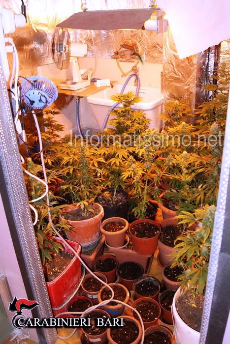 CC_Gioia_piante_di_cannabis_in_garage