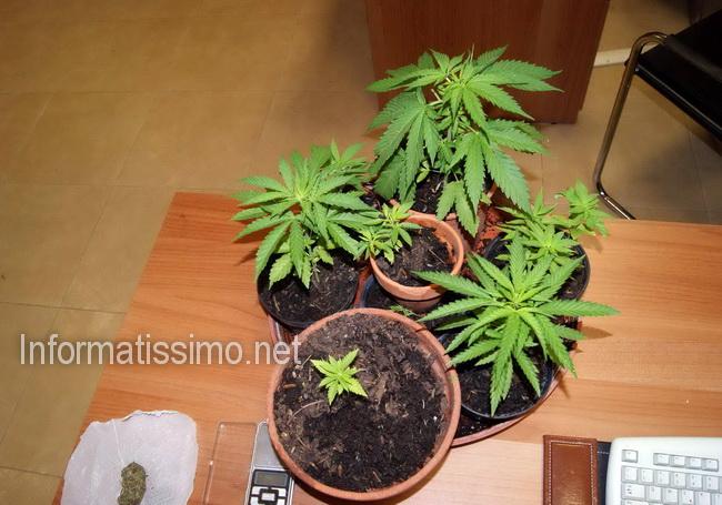 CC_Locorotondo_marijuana