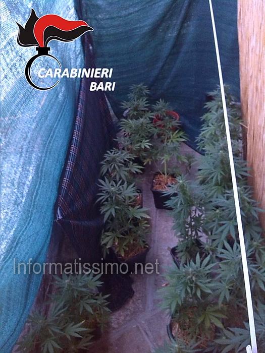 CC_Putignano_-_Marijuana_nel_centro_storico