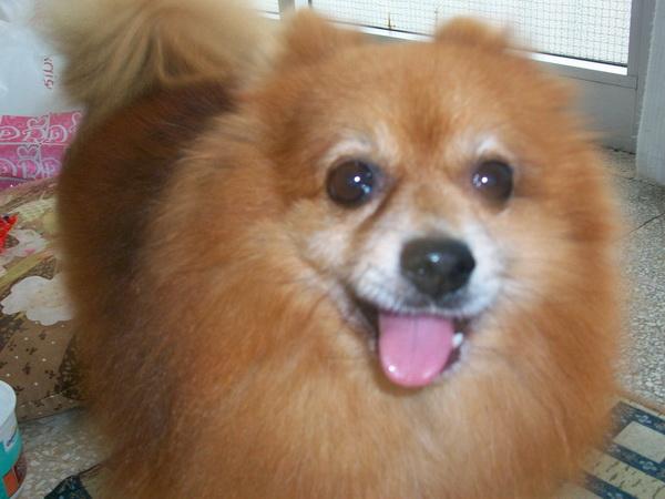 Smarrito un cane razza spitz a putignano for Nomi per cani taglia piccola